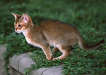 Jumping Abyssinian cat