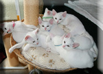 Khao Manee kittens in a basket