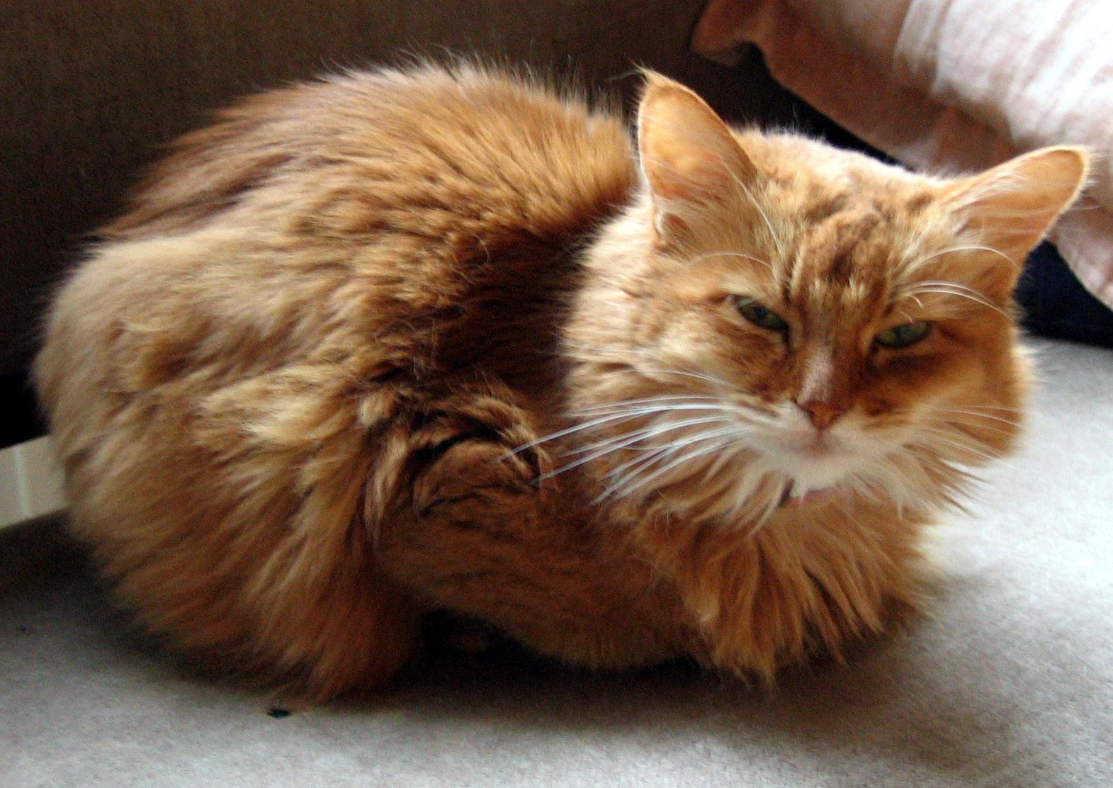 Добрый кот породы Сомали фото