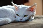 Kindly Devon Rex