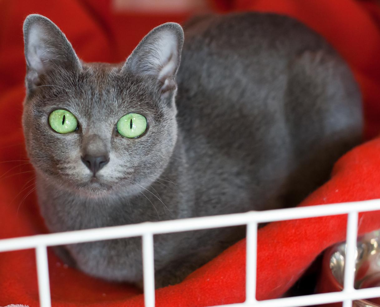 Доброжелательный кот породы Корат фото