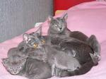 Коты породы Корат