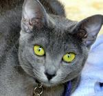 Korat with green eyes