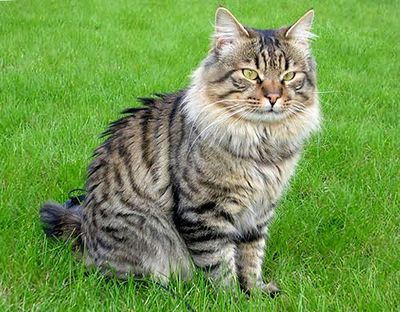 Kurilian Bobtail in nature wallpaper
