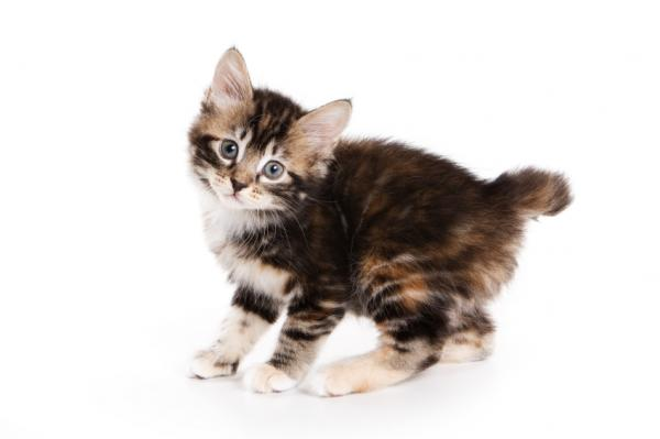 Kurilian Bobtail kitten wallpaper