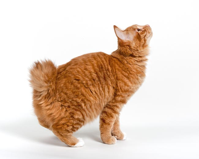 Kurilian Bobtail looking up wallpaper