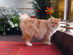 Kurilian Bobtail near the flower