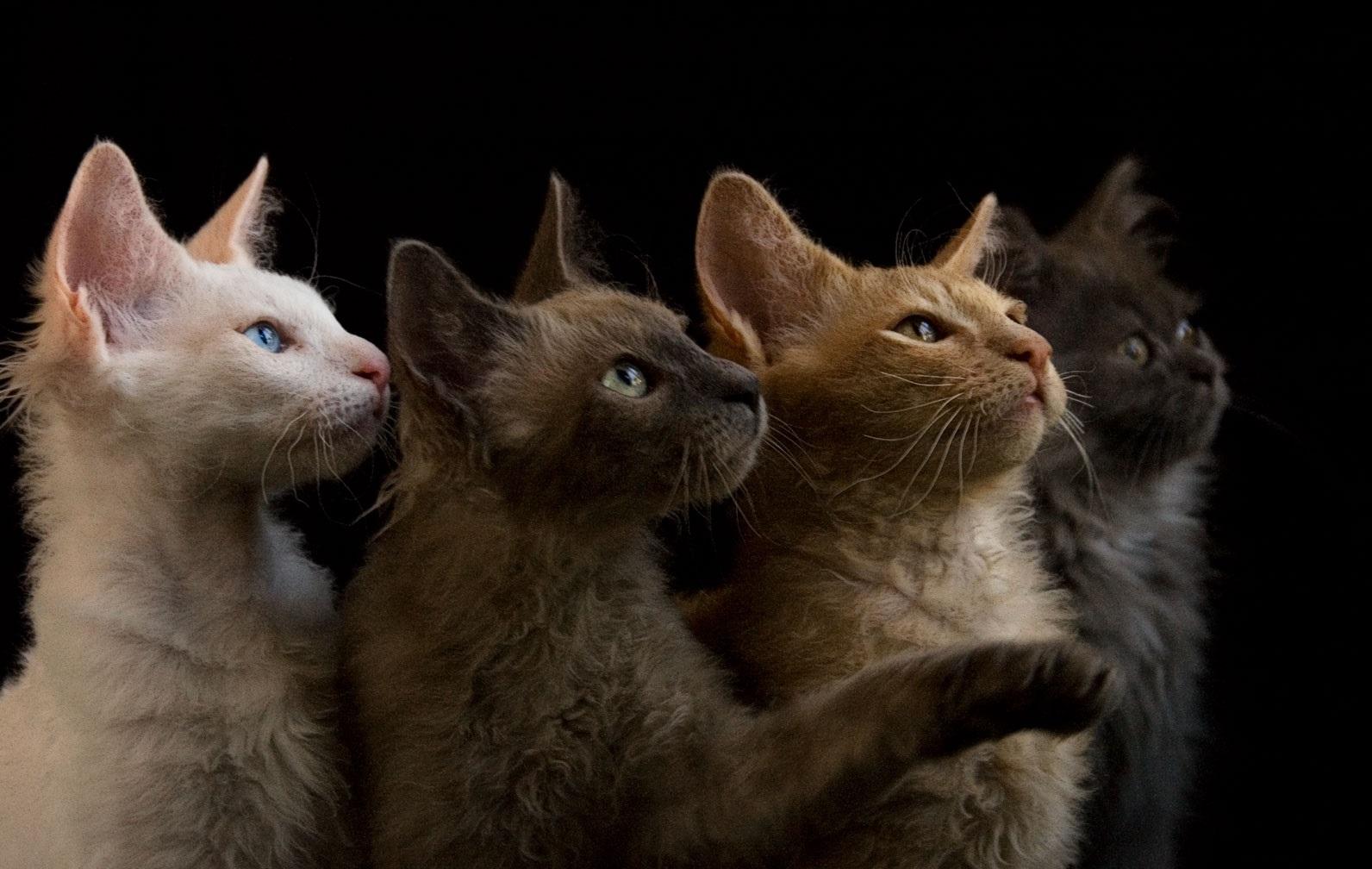 Коты породы Лаперм фото