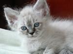 Котенок породы Лаперм
