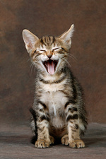 Laughing Sokoke kitten