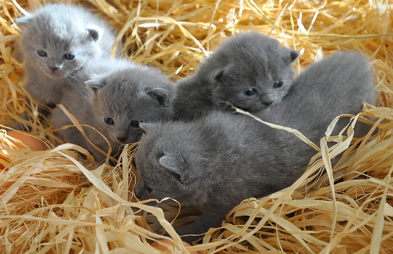Little Chartreux kittens  wallpaper