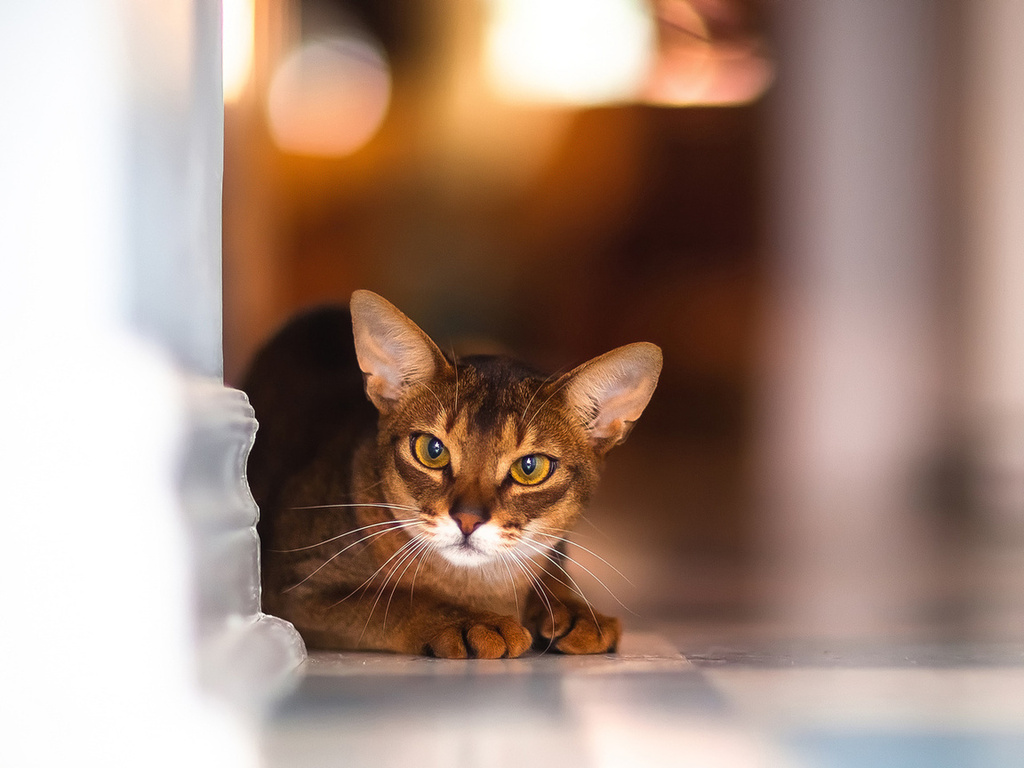 Lovely Abyssinian cat wallpaper
