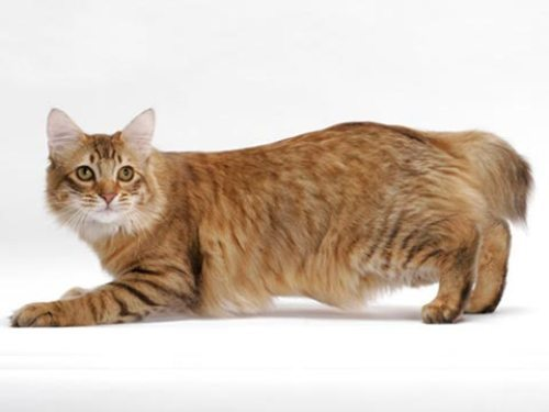 Lovely American Bobtail  wallpaper