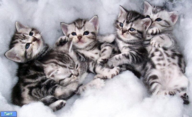 Красивые котята Американской короткошерстной кошки фото