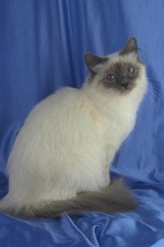 Lovely Birman