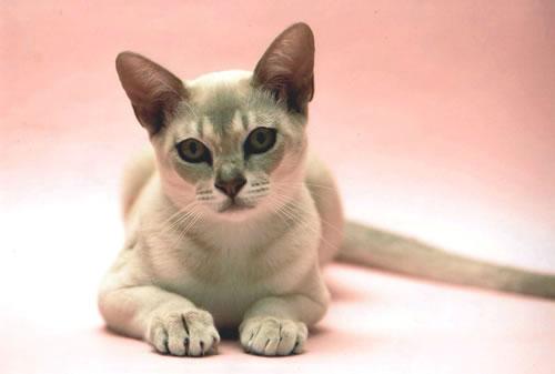 Прелестная кошка породы Бурмилла фото
