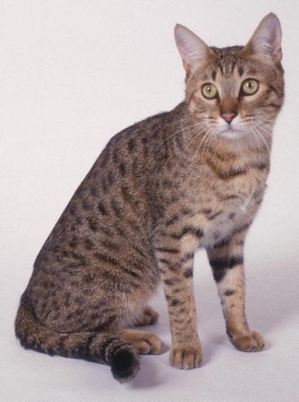 Симпатичная Калифорнийская сияющая кошка фото