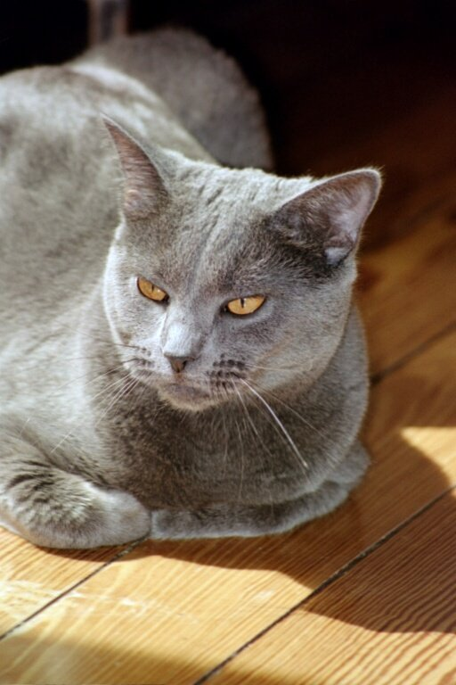 Lovely Chartreux  wallpaper