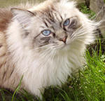 Lovely Ragdoll