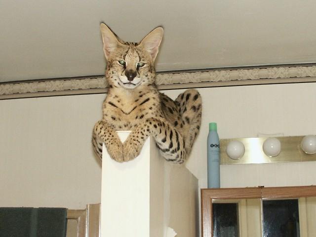 Прелестный кот породы Саванна фото