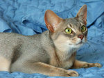 Lying Abyssinian cat