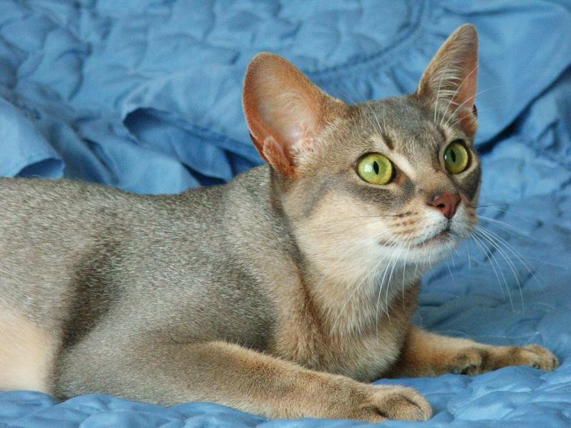 Lying Abyssinian cat  wallpaper