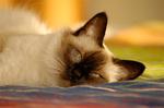 Lying Balinese cat
