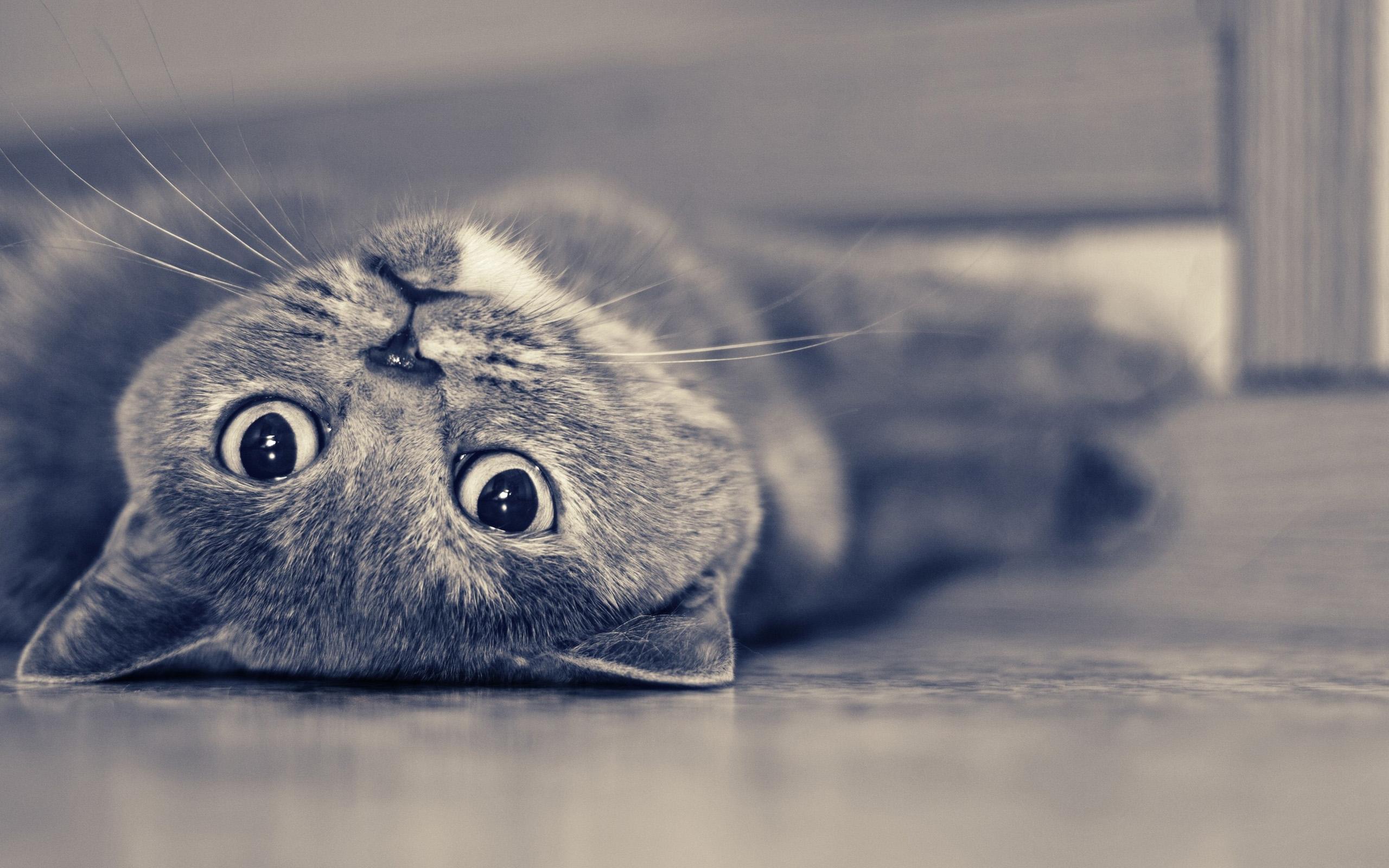 Британская короткошерстная кошка лежит фото