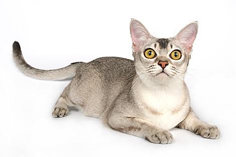 Бенгальская кошка обои на рабочий стол 2
