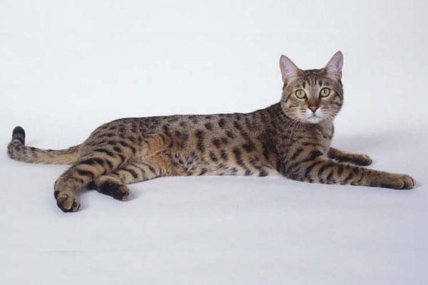 Калифорнийская сияющая кошка лежит фото