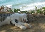 Lying Cyprus cat