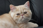 Lying Exotic Shorthair
