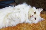 Кот породы Наполеон лежит