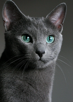 Magic Russian Blue