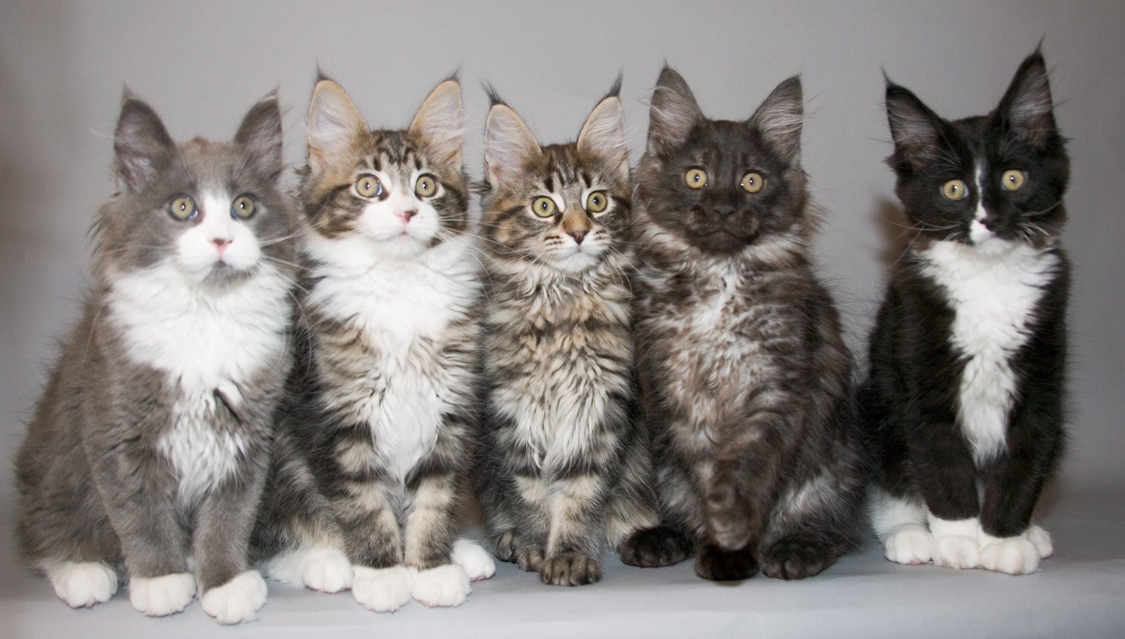 Maine Coon cats portrait wallpaper