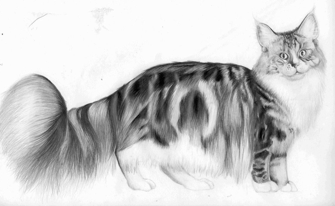Рисунок кота породы Мейн Кун фото
