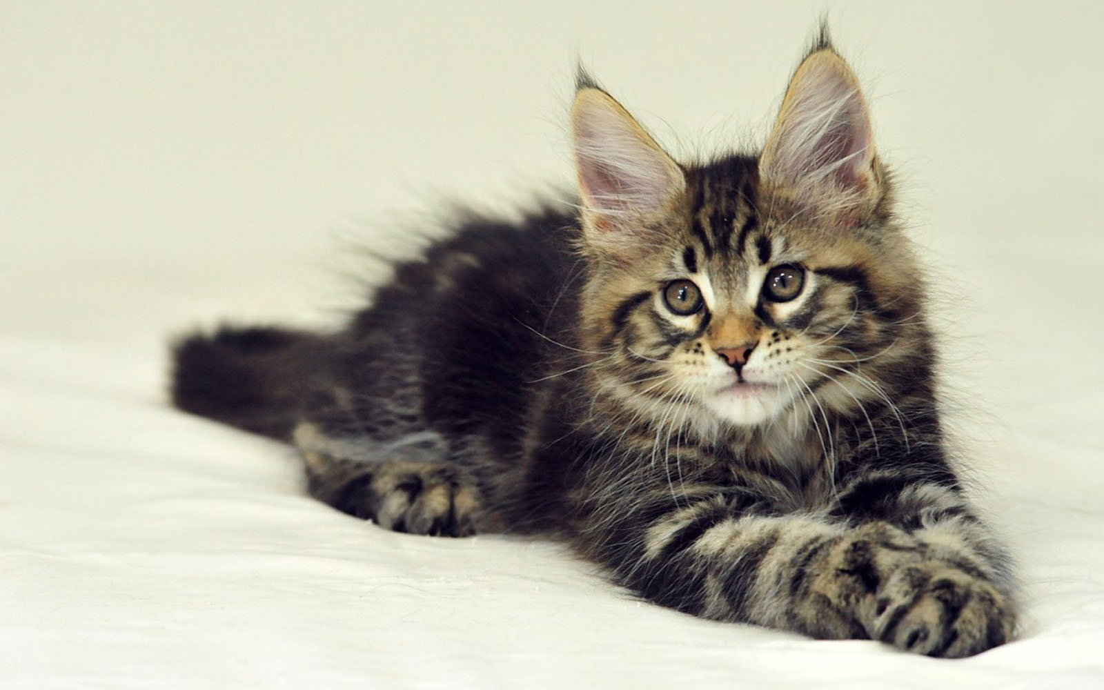 Maine Coon kitten wallpaper