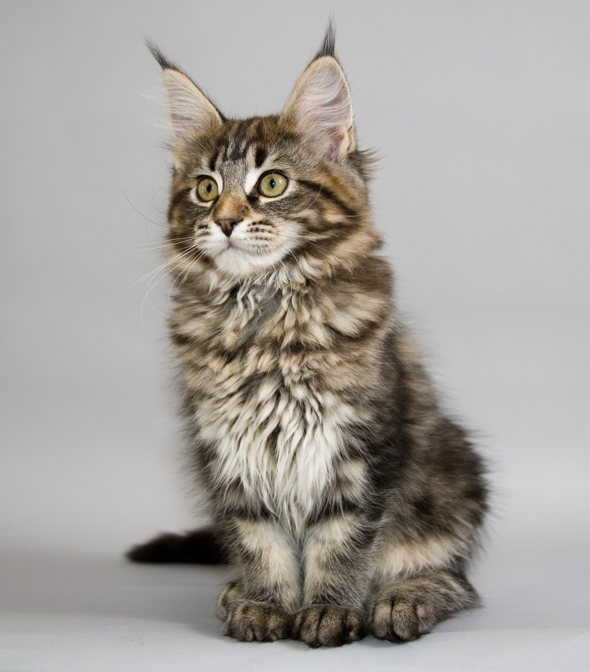 Maine Coon kitten portrait wallpaper