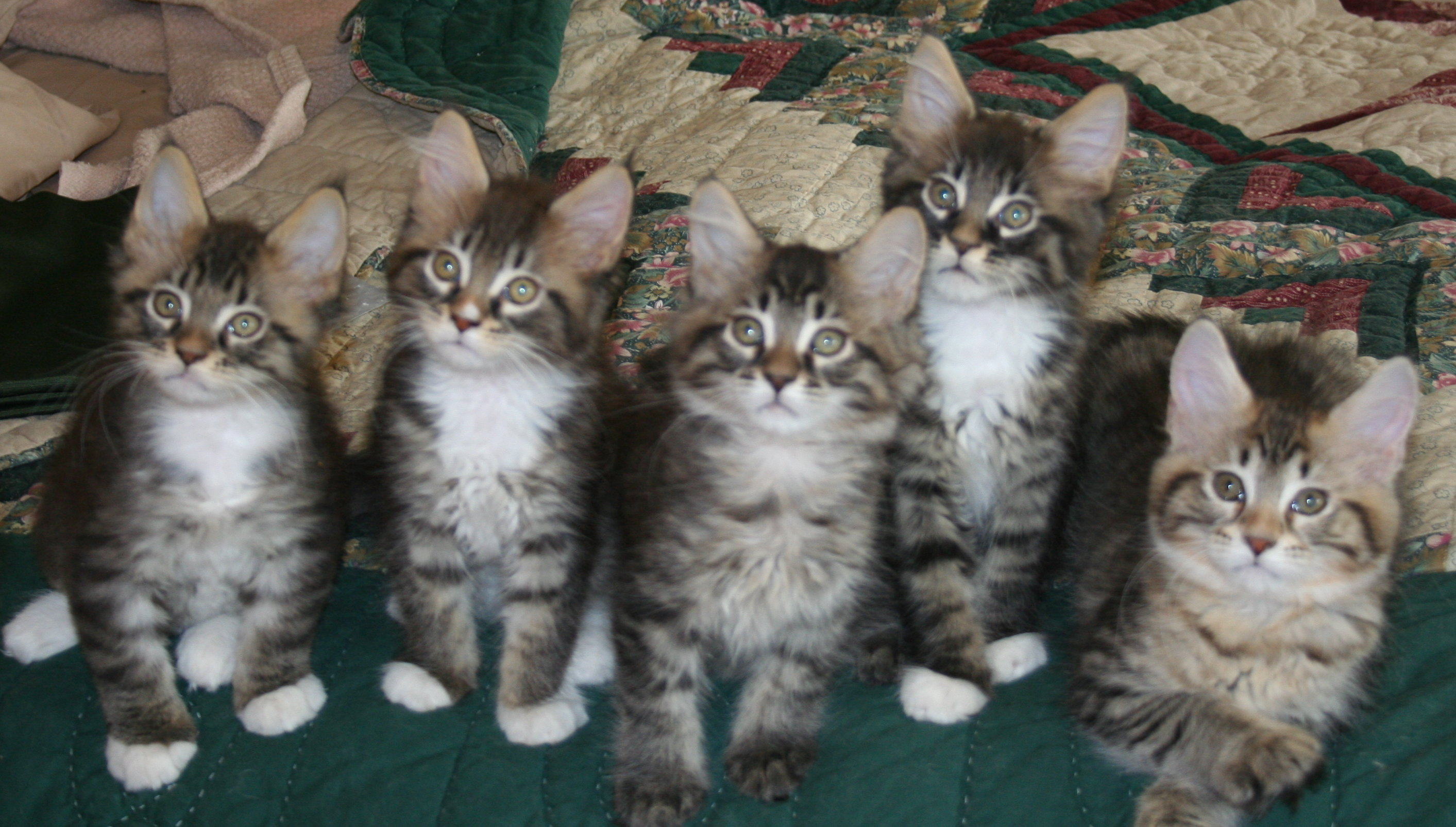 Maine Coon kittens photo and wallpaper Beautiful Maine Coon