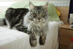 Maine Coon on a sofa