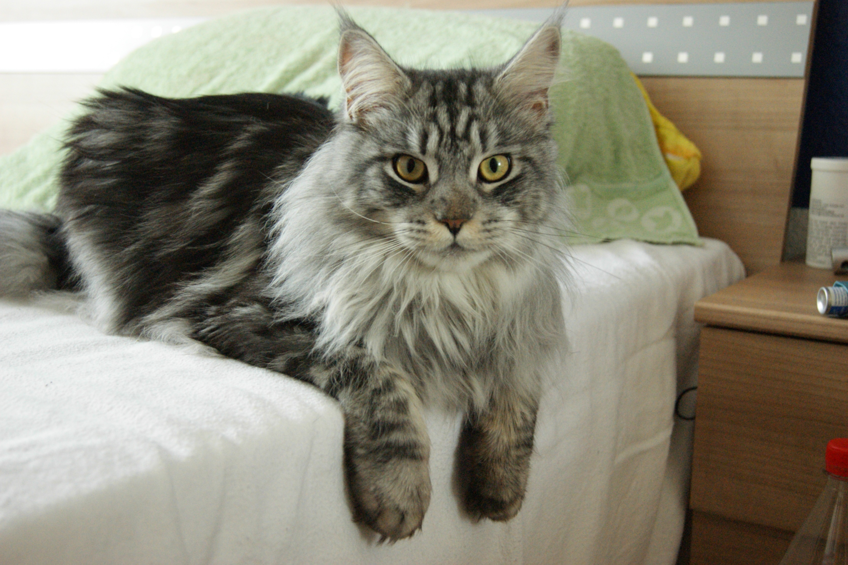 Maine Coon on a sofa wallpaper