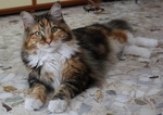 Maine Coon on the floor