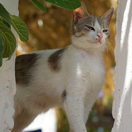 Majestic Aegean cat  wallpaper