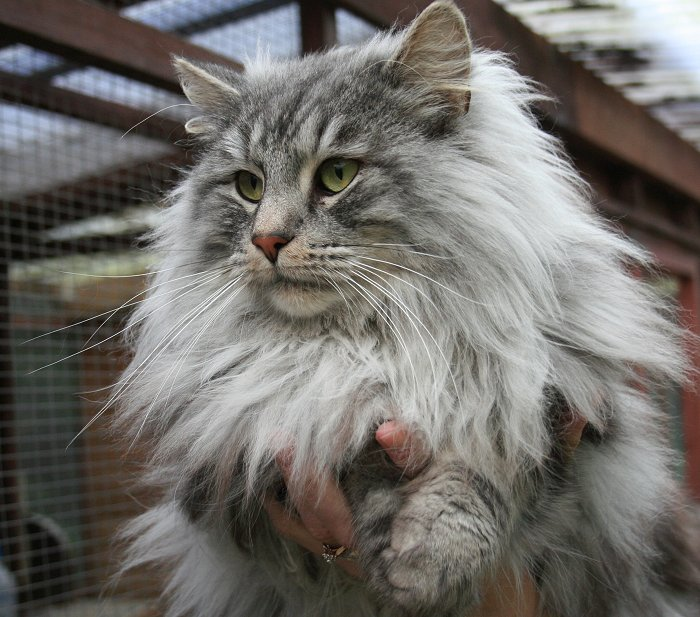 Majestic Norwegian Forest Cat wallpaper