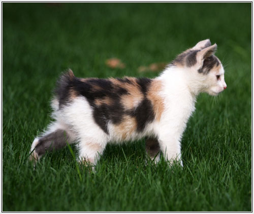 Manx kitten in nature wallpaper