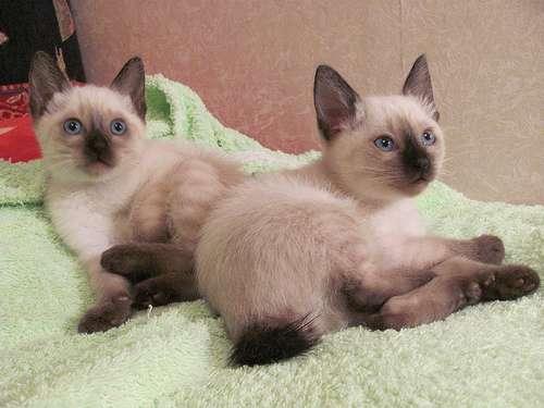 Коты породы Меконгский Бобтейл на кровати фото