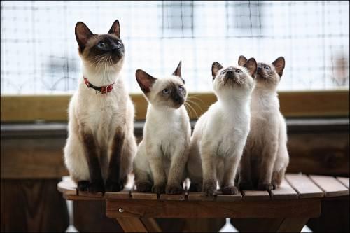 Семья Меконгского Бобтейла фото
