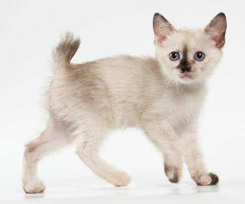 Котенок Меконгского Бобтейла фото