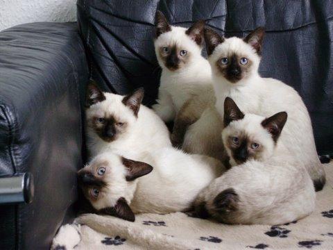 Котята Меконгского Бобтейла на диване фото