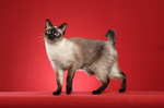 Mekong bobtail red background